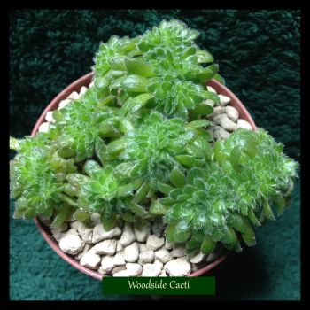 Aeonium tabuliforme cristate 9cm