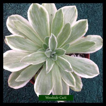Aeonium cv Ballerina variegata