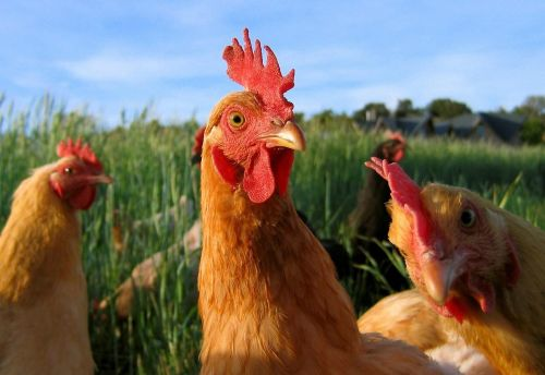 Chickens and PUFA Oils