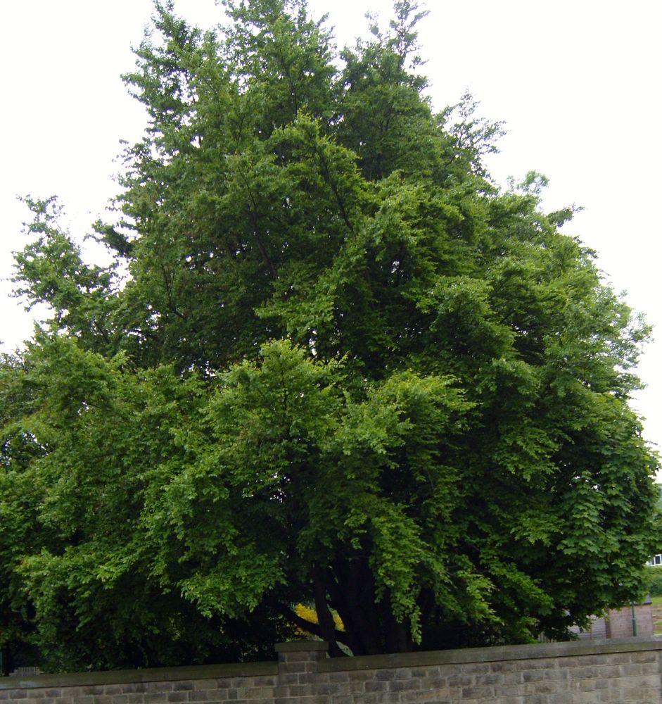 Beech Tree Moss