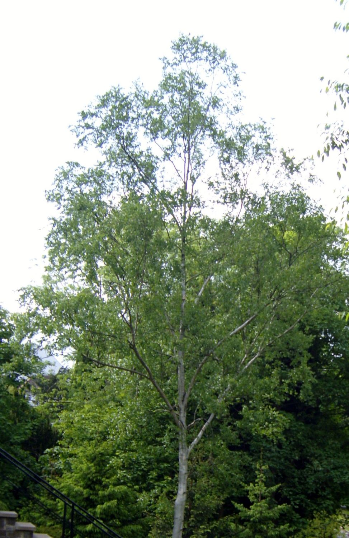 Birch Tree Moss
