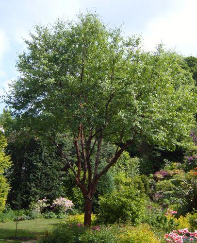 Cherry Tree Moss: Refreshing and Renewing