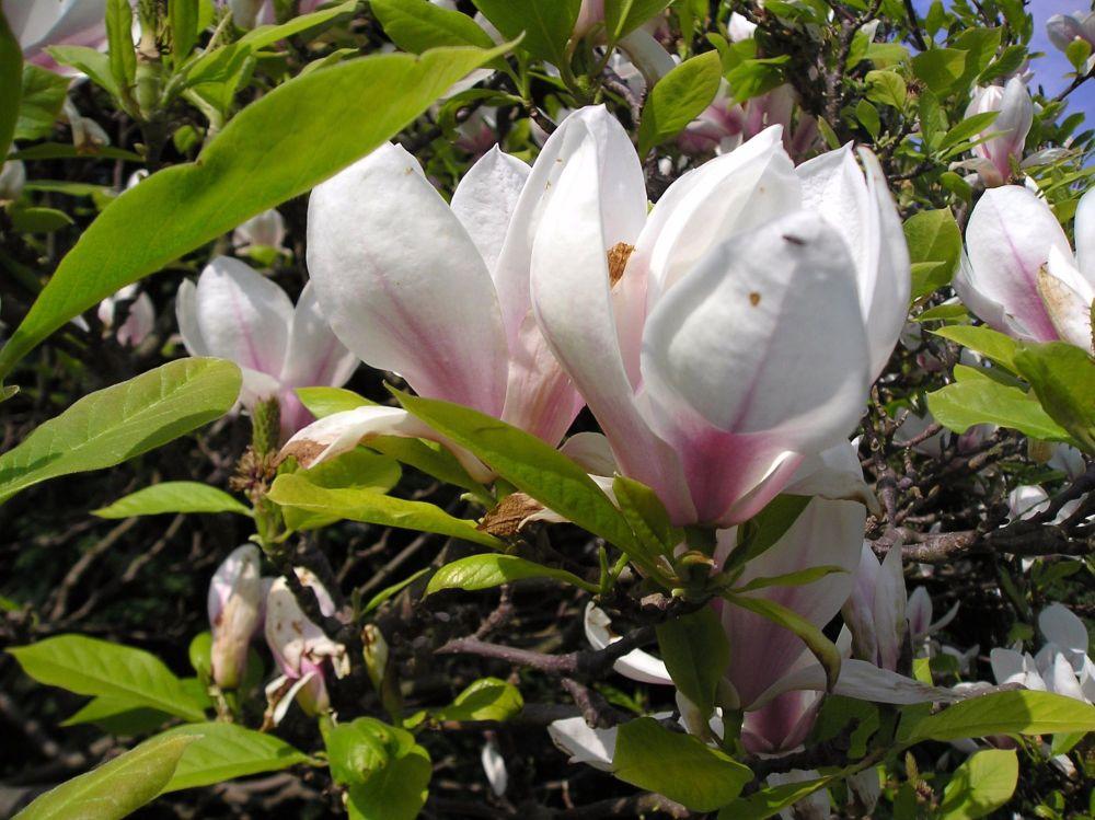 Magnolia Tree Moss: Brings contentment
