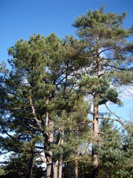 Pine Tree Moss: Helps build confidence