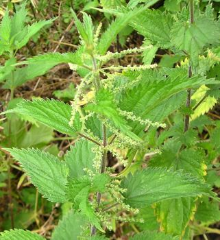 Nettle: Helps communication and expression of feelings