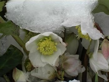 Christmas Rose: Coming in from the cold