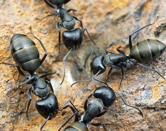 Carpenter Ant : Over activity