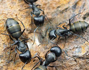 Carpenter Ant : Over activity
