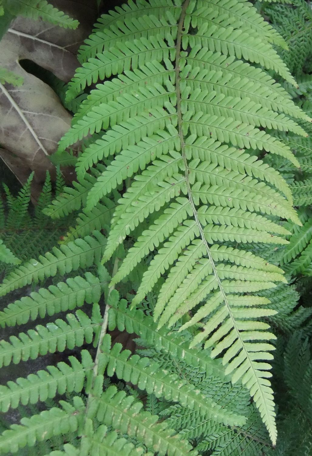 Male Fern: Gnawing thoughts