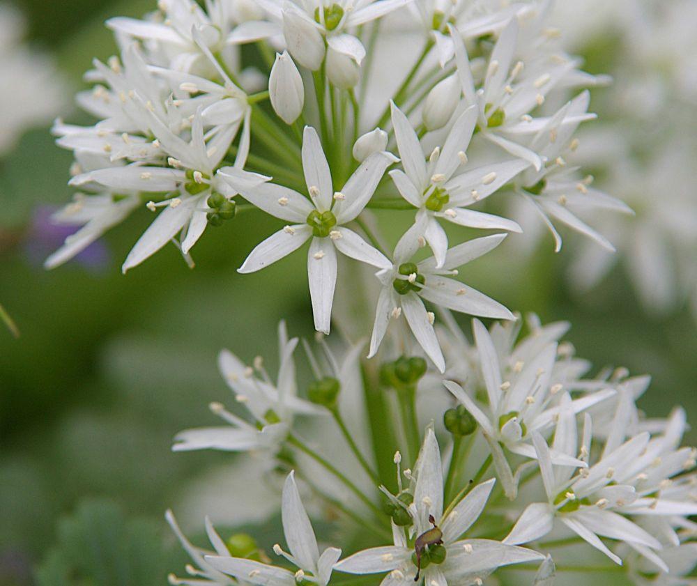 Garlic: Psychic protection