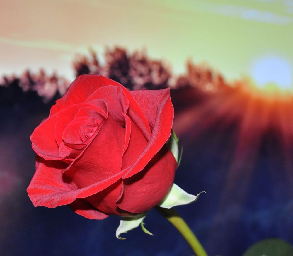 Lunar Red Rose: Attachment