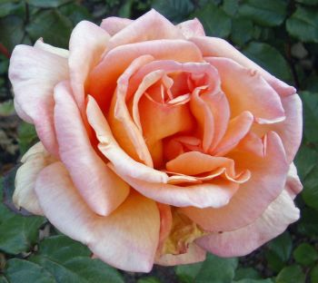 Pink Rose: Accessing love