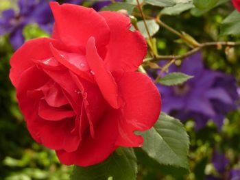 Red Rose: Unrequited love