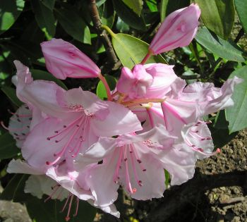 Wild Rhododendron: Flourishing relationships