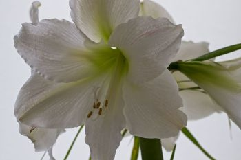 Amaryllis: You're beautiful.  It's true!