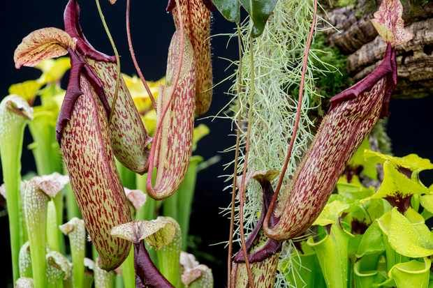 Pitcher Plant: Dangling by a thread