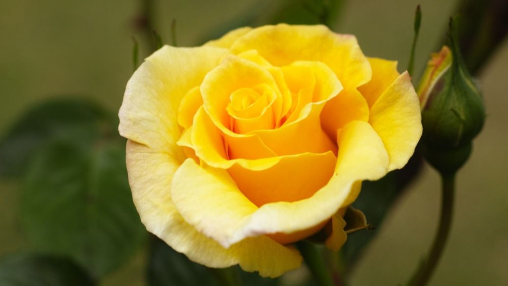 Yellow Rose: Jealousy