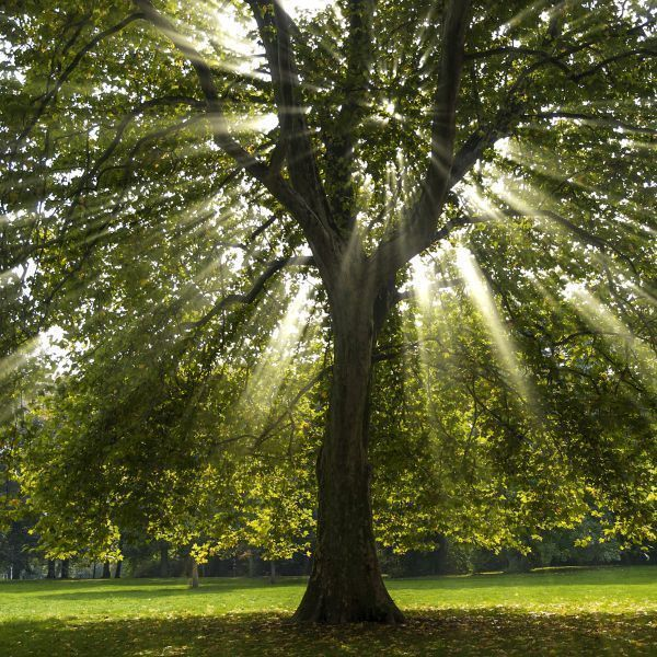 American Sycamore Tree Moss: Let Your Hair Down