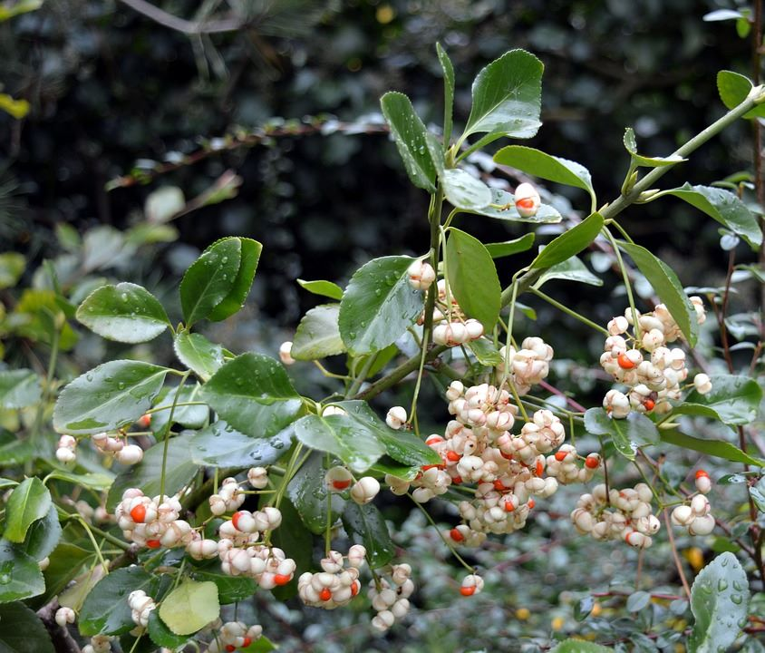 Snowberry & Mistletoe