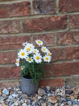 Argyranthemum Frutescens (Marguerite Daisy)