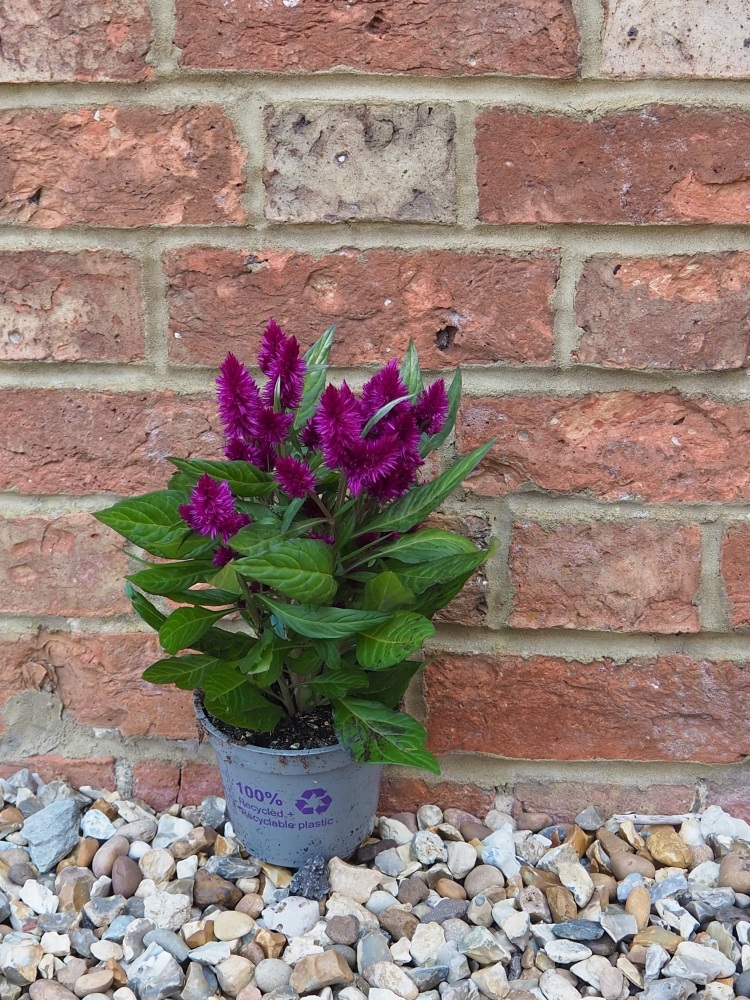 Celosia Dark Purple