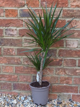 Dracaena Marginata mixed