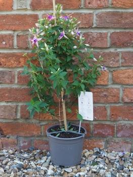 Fuchsia Pink Lilac