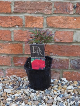 Paeonia Karl Rosenfield (Red Peony)