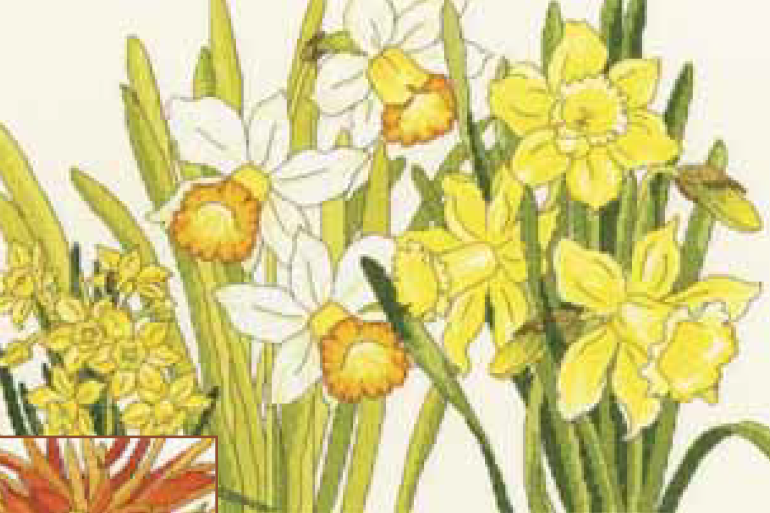 Bothy threads XBD10 embroidery counted cross stitch range - Daffodil blooms