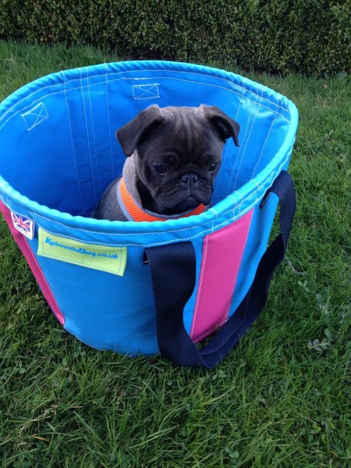 Pug in a tub!