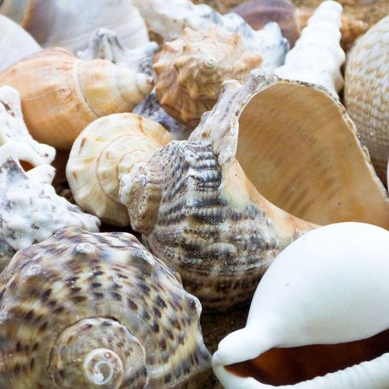 Large Sea Shells - Assorted - 500g