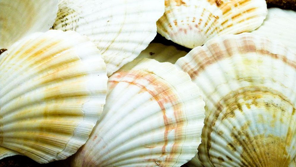 Scallop Shells - 13 x 11cm - Pack of 15