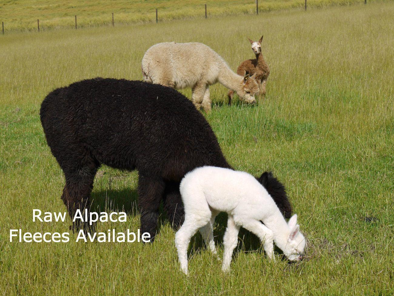 alpacas-grazing-caption