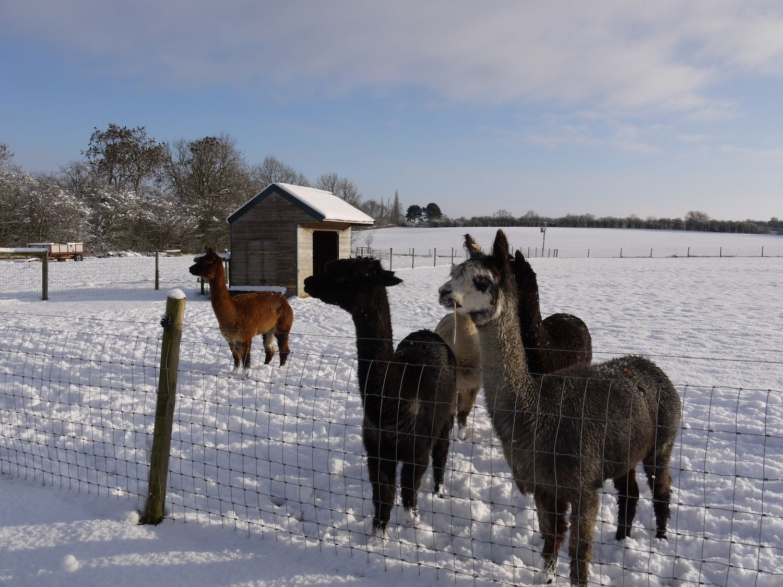 Alpacas in the snow at Midshires  Campsite