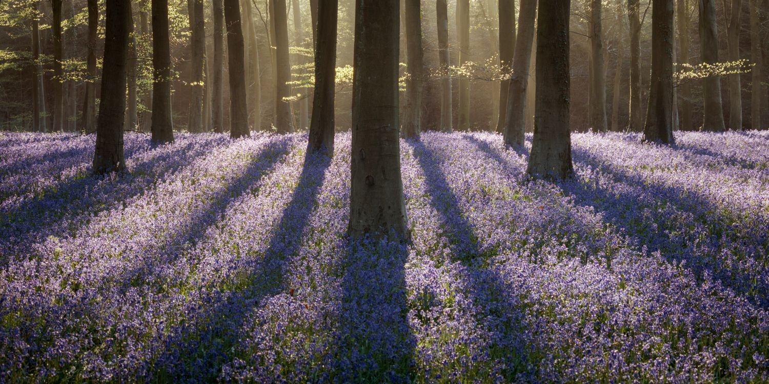 lavender in forest