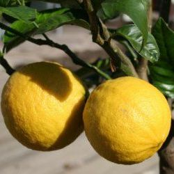Bergamot - Pure Essential Oil