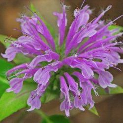 Bergamot Mint - Pure Essential Oil