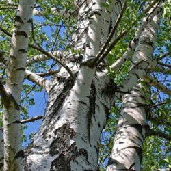 Birch Tar - Pure Essential Oil