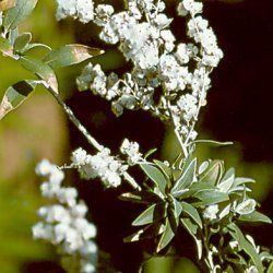 Camphor Bush - Pure Essential Oil