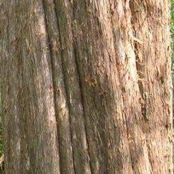Cedarwood - Pure Essential Oil