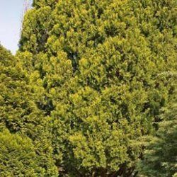 Cedarwood Chinese - Pure Essential Oil