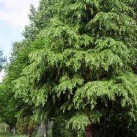Cedarwood Himalayan - Pure Essential Oil