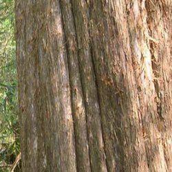 Cedarwood Red - Pure Essential Oil