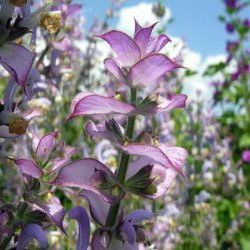 Clary Sage - Pure Essential Oil