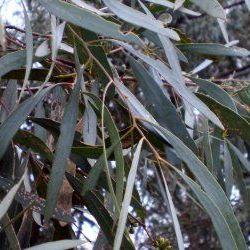 Eucalyptus Blue - Pure Essential Oil