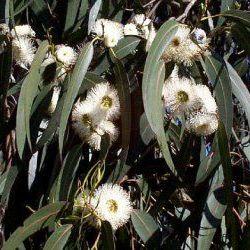 Eucalyptus Globulus - Pure Essential Oil