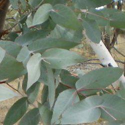 Eucalyptus Peppermint - Pure Essential Oil