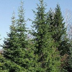 Fir Needle - Pure Essential Oil
