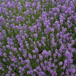 Lavender High Altitude - Pure Essential Oil