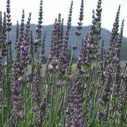 Lavender Spike - Pure Essential Oil